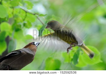 Perching Hawfinch (Coccothraustes coccothraustes) and flying Greenfinch (Chloris chloris) at green leaves background