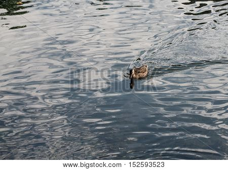Solitary duck with reflection in river water