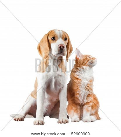 English beagle and maine coon kitten isolated over a white