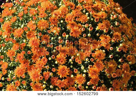 Orange marigolds in bloom - ready for autumn season