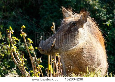 Warthog Popping Out Of The Grass To Say Hi