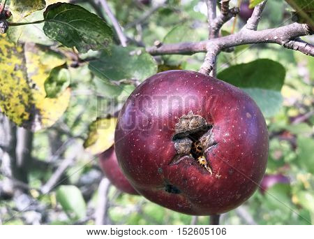Bug infested apple hanging from a tree