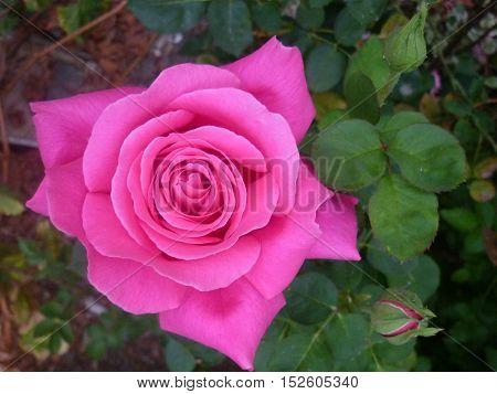 flores hermosas de jardín, rosas, kantutas, hortencias, tienen rocío y diferentes colores como el rojo, amarillo, verde, azul, rosado.