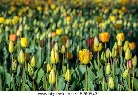 Budding and blooming tulips growing in the field of a specialized Dutch tulip bulbs grower. It is a sunny day in the early spring season.