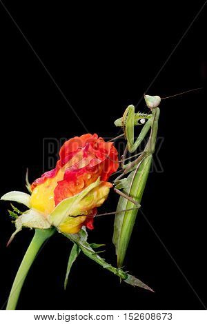 Green Praying Mantis Mantis religiosa sitting on a rosebud isolated on black. Outside of Europe this species is also called European Mantis.