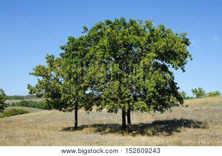 Three oak tree growing in the meadow on a sunny day.