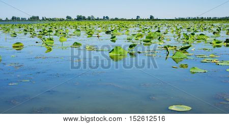 Pond with lillypads reflected on water at Point Pelee national park, Ontario, Canada