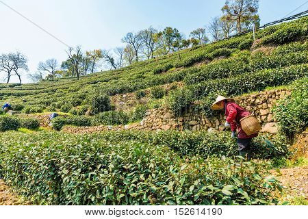 HANGZHOU CHINA - MARCH 25: An old Chinese farmer is picking tea leaves in Longjing tea fields one of the most famous tea farms in China on March 25 2016 in Hangzhou.
