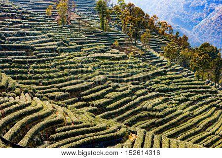 Landscape of Longjing tea fields in Hangzhou