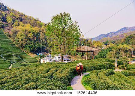 Path with farmers and landscape of Tea fields in Longjing