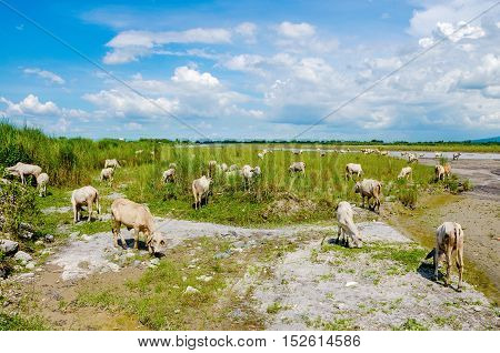 Skinny cows feeding in the countryside of the Philippines