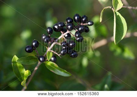 Berries of a common privet bush (Ligustrum vulgare)