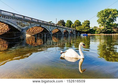 Swan in a lake in Hyde park