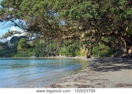 Magnificent and ancient Pohutukawa Tree on Oneroa Beach Waiheke Island in Spring.