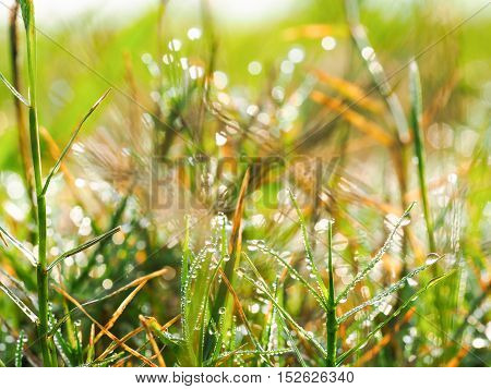The dewdrops on the grass in the morning.