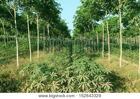 agriculture of Cassava in rubber tree plantation