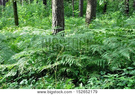 Glade of green ferns in summer forest in perspective.