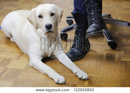 Beautiful white Labrador dog in semi reclined spinx pose on a light brown parquet floor resting faithfully next to his owner's chair close to his feet in black boots
