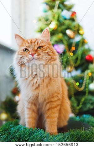 Cute ginger cat and Christmas tree. Fluffy funny pet sits in front of New Year decorated fur-tree. Cozy holiday background with place for text.