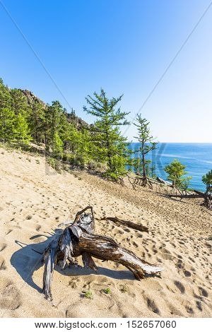Old snag lies on the top of a sandy slope leading down to the shore of lake Baikal.