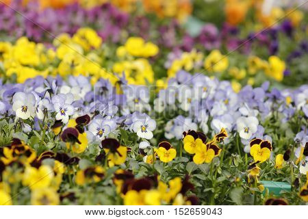 Colourfull speckled spring pansies flowers in boxes