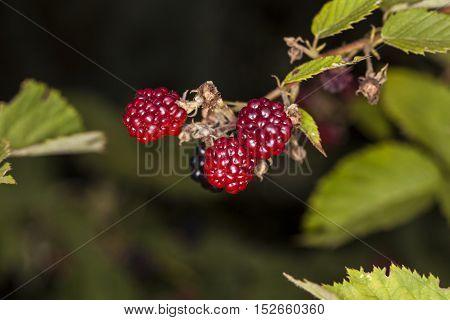Red Blackberries Growing In Nature
