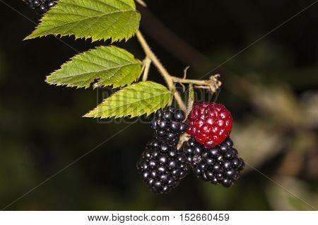Red And Black Blackberries Edible