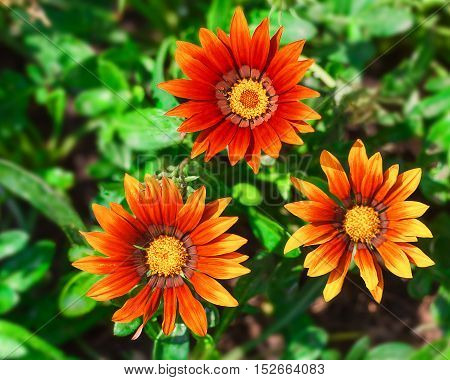 Gazania in the flowerbed in summer city park.