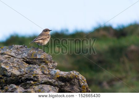 Wheatear (Oenanthe oenanthe) bird on coast ready to migrate. Summer visitor to Britain in the family Turdidae on Somerset Coast before flying south for winter