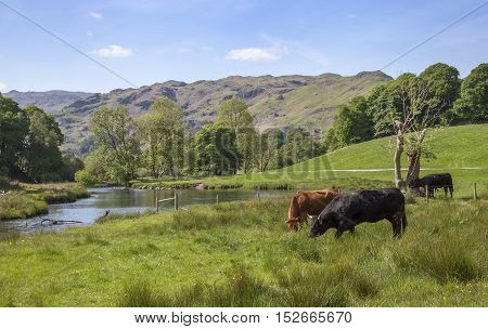 Cattle at Elterwater, The Lake District, Cumbria, England