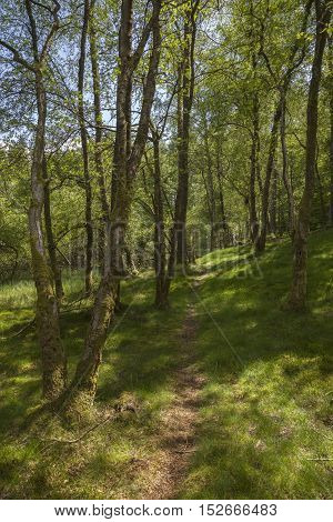 Spring woodland at Tarn Hows, Lake District, Cumbria, England