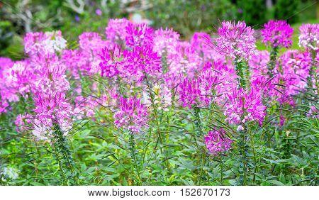 Beautiful pink spider flower in the garden