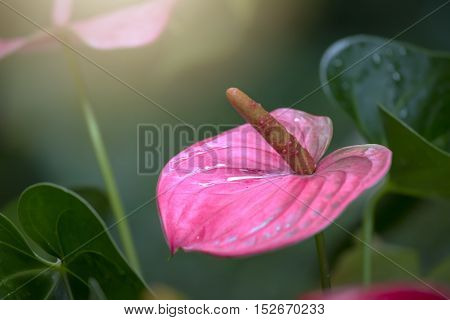 Anthurium flowers blooming in the early sun