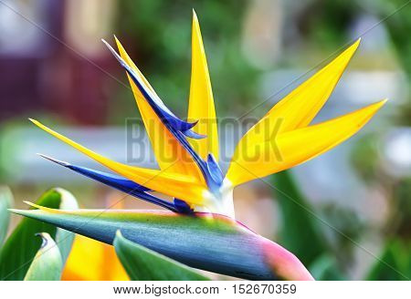 The bird of paradise flowers in nature