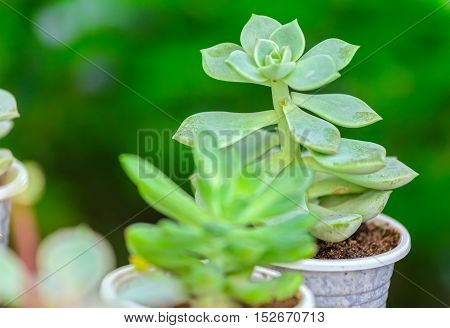 Close up Flower succulent plants is blooming