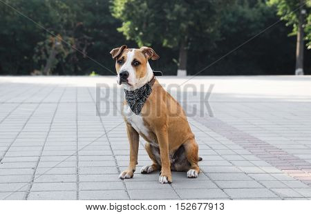Dog in bandana sitting outdoors. Dog in black bandana sitting on a pavement downtown.