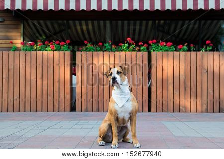Dog in bandana sitting outdoors. Patient dog in bandana waiting outside a restaurant.
