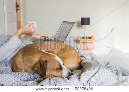 Dog in bed with human. Female person drinking morning tea or coffee and working with laptop in bed with dog sleeping next to her.