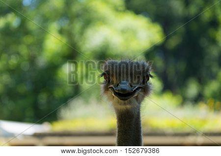 Close up of a Ostrich. Ostrichs. Ostrich birds
