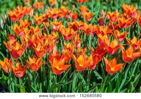 Closeup of orange colored lily like tulips in the field of of a specialized Dutch tulip bulbs grower. It is a sunny day in springtime.