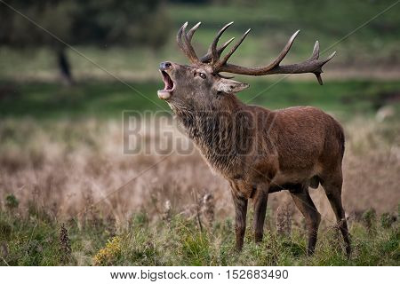 A royal male red deer stag bellowing to make his presence known