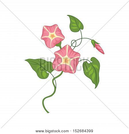Morning Glory Wild Flower Hand Drawn Detailed Illustration. Plant Realistic Artistic Drawing Isolated On White Background.