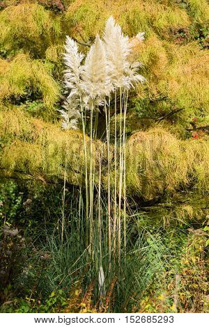 Pampas grass (Cortaderia selloana) in flower. Tussock of ornamental flowering plant growing in a British botanic garden in front of soft yellow foliage