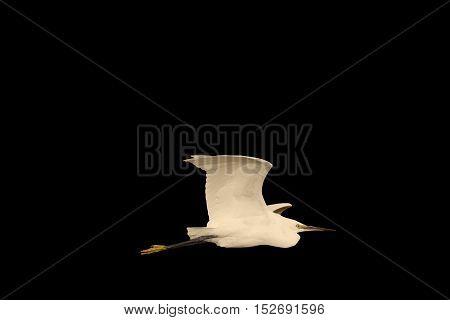 Little egret in flight isolated on black, bird in flight, isolated object, wildlife