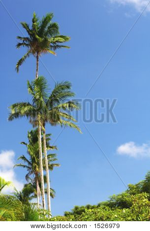 Guam Palm Trees