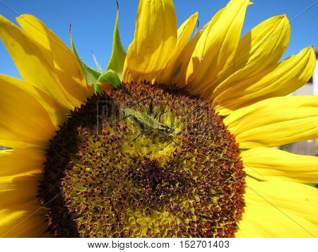 Green grasshopper eats and damages blooming sunflower closeup