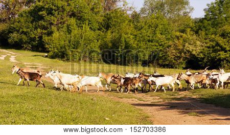 a herd of goats to pasture selective focus