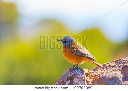 Close-up Of A Cute Colorful Cape Rock Thrush (monticola Rupestris) Perched On Rock. Side View, Selec