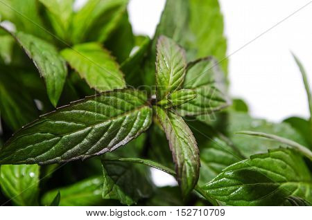 Bush Fragrant Peppermint Isolated On White Background