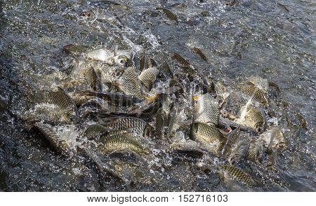 The fish feeding scramble  the food pellet